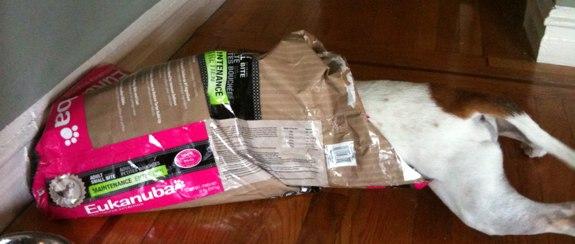 Beagle dives into an empty bag of Eukenuba