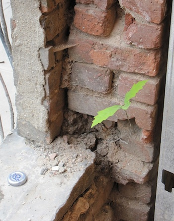 Tree growing in brick